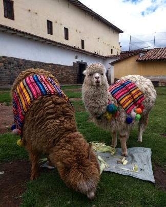 Llamas em Cusco
