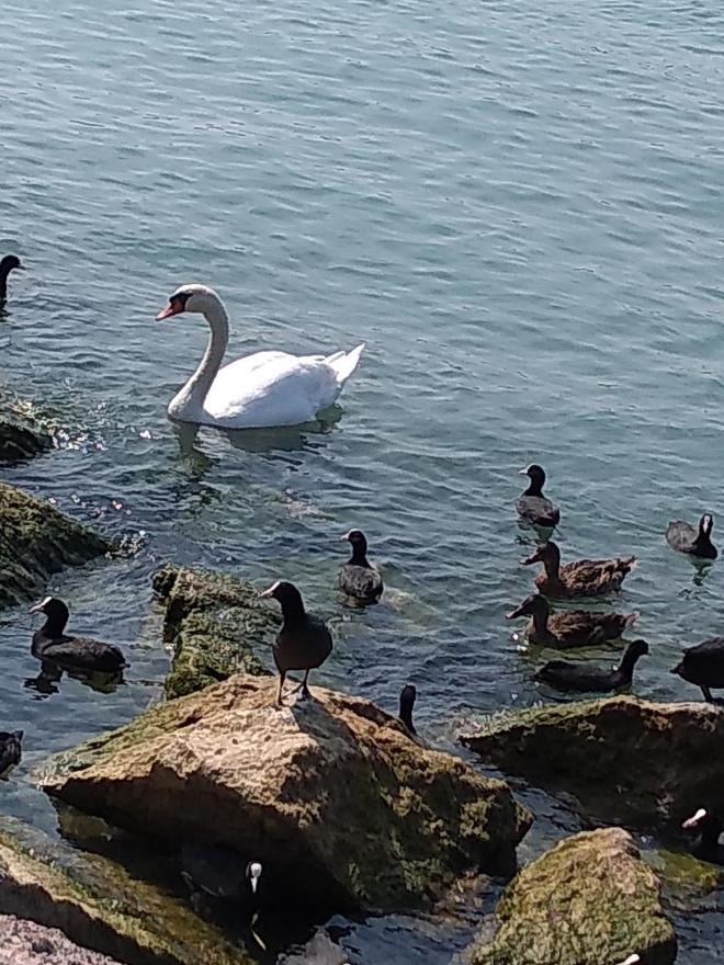 Lago de Garda Peschiera cisnes