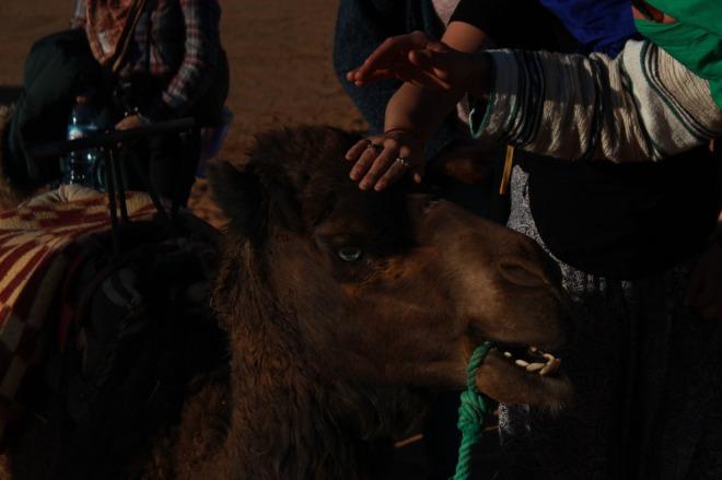 Saara Marrocos camelos